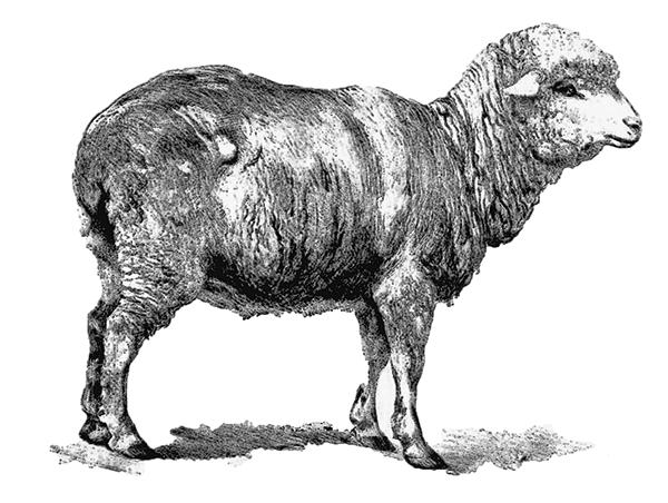 Merinoschaf Wolle
