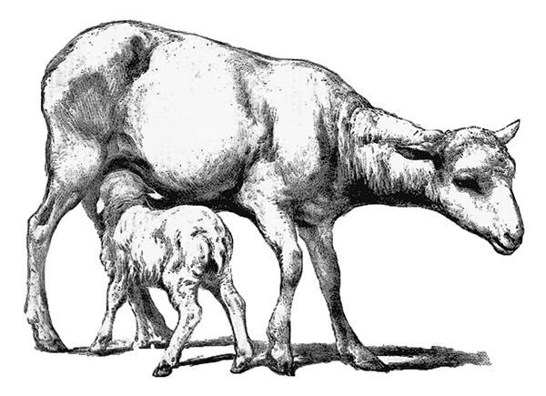 sàugendes Merinoschaf und Lamm
