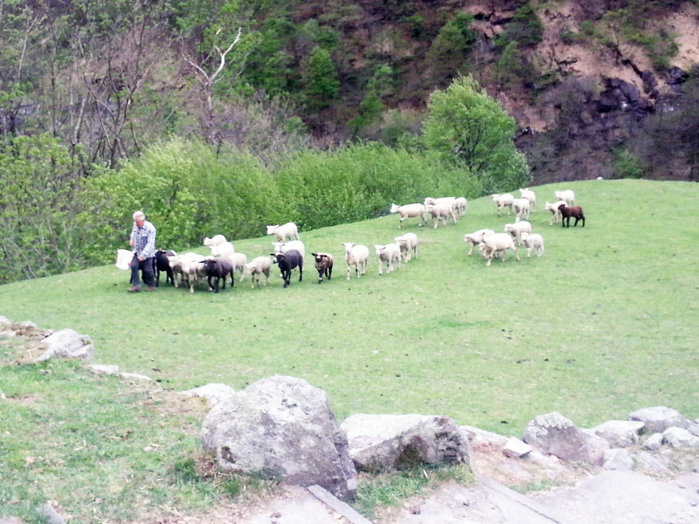 Schafe Eintreiben Tessin